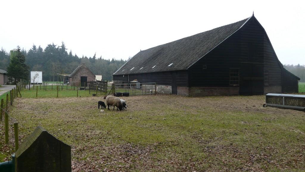Lammetjes bij boerderij