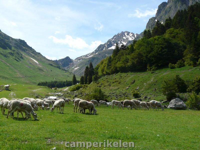 Schapen in de Pyreneeën