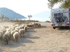 Een kudde schapen komt langs