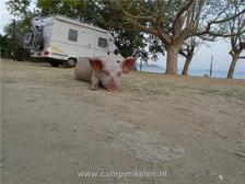 Varkens op de camperplaats