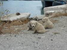 (Zwerf)puppies in de haven van Lavrio