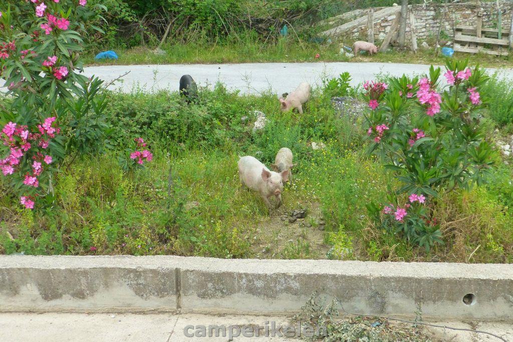 Varkens langs de kant van de weg