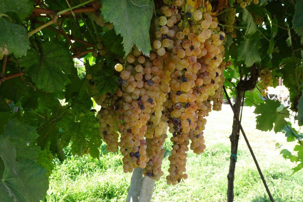 Veel druiven hier voor de Soave wijn